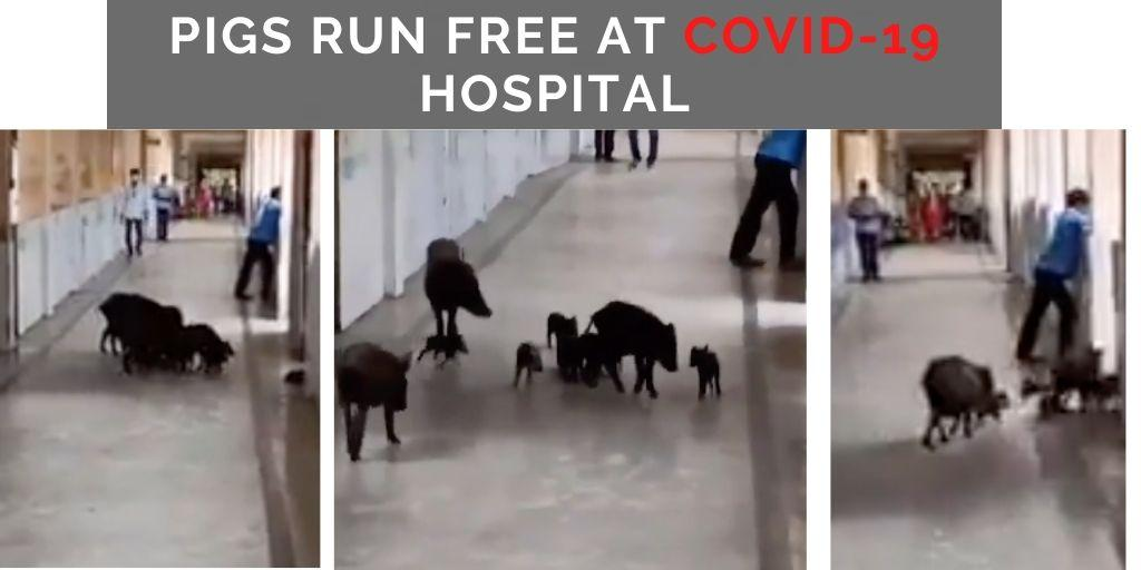 Pigs run around at hospital