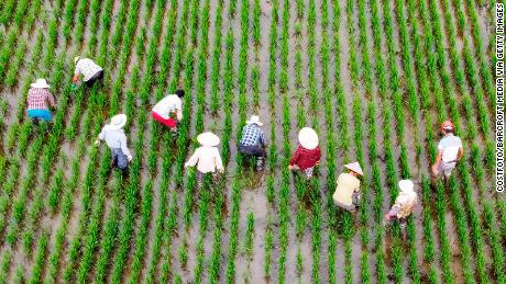 Landarbeiders halen op 8 juli onkruid uit de rijstvelden in Taizhou, in de provincie Jiangsu, China.